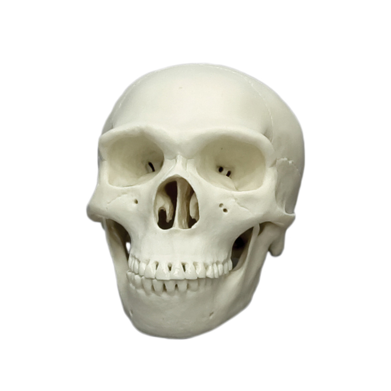 Homo neanderthalensis, half scale