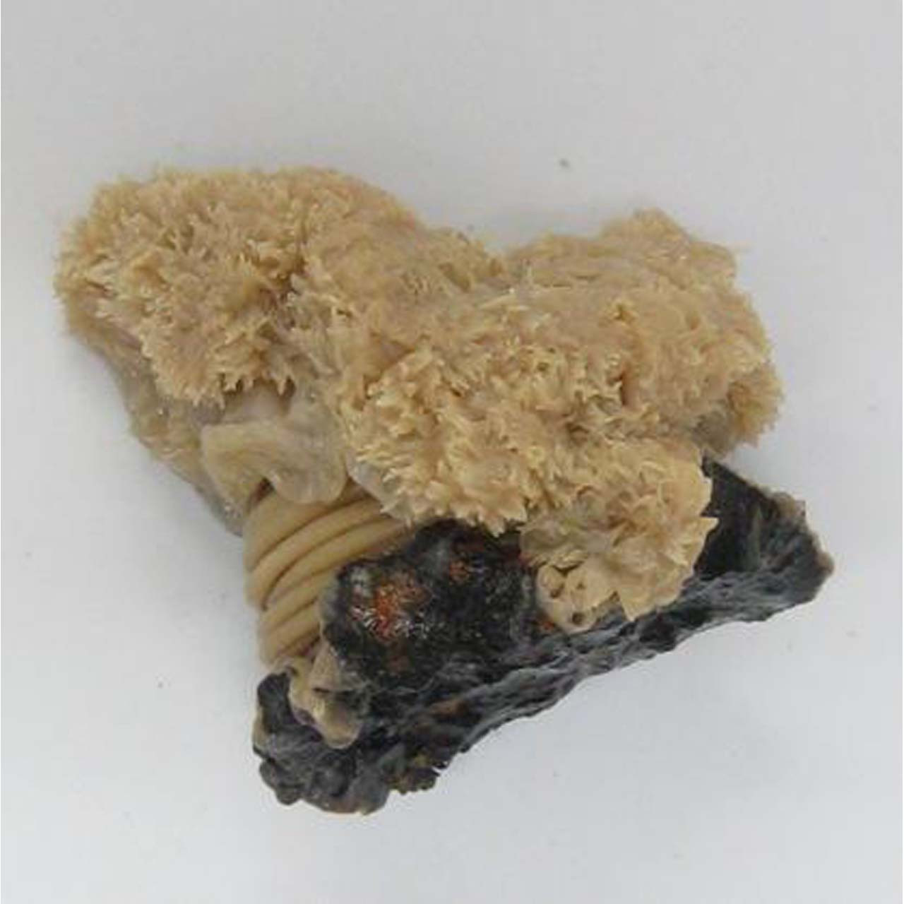 PM4.301 - Sea anemone (Metridium), preserved