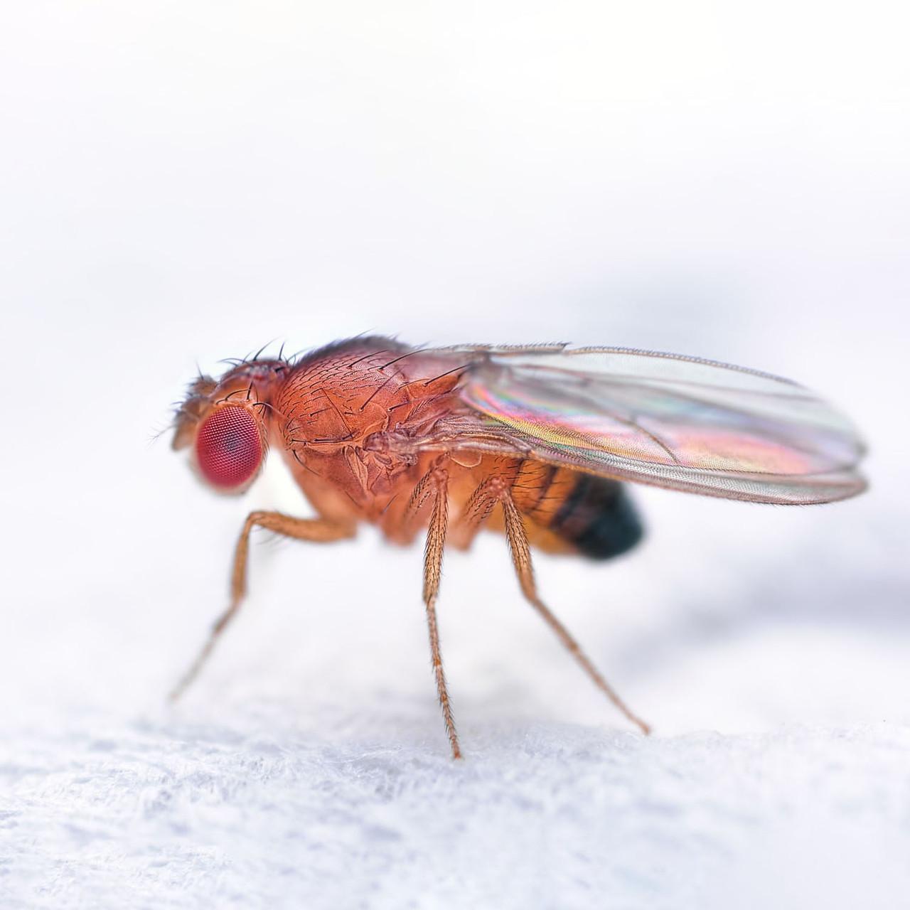 Drosophila, vestigial wing, live