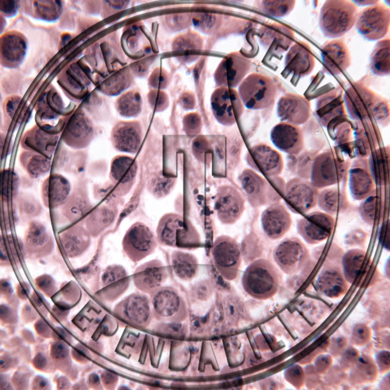 PMS43.30 - Grasshopper testis, TS, haematoxylin stain, showing animal meiosis