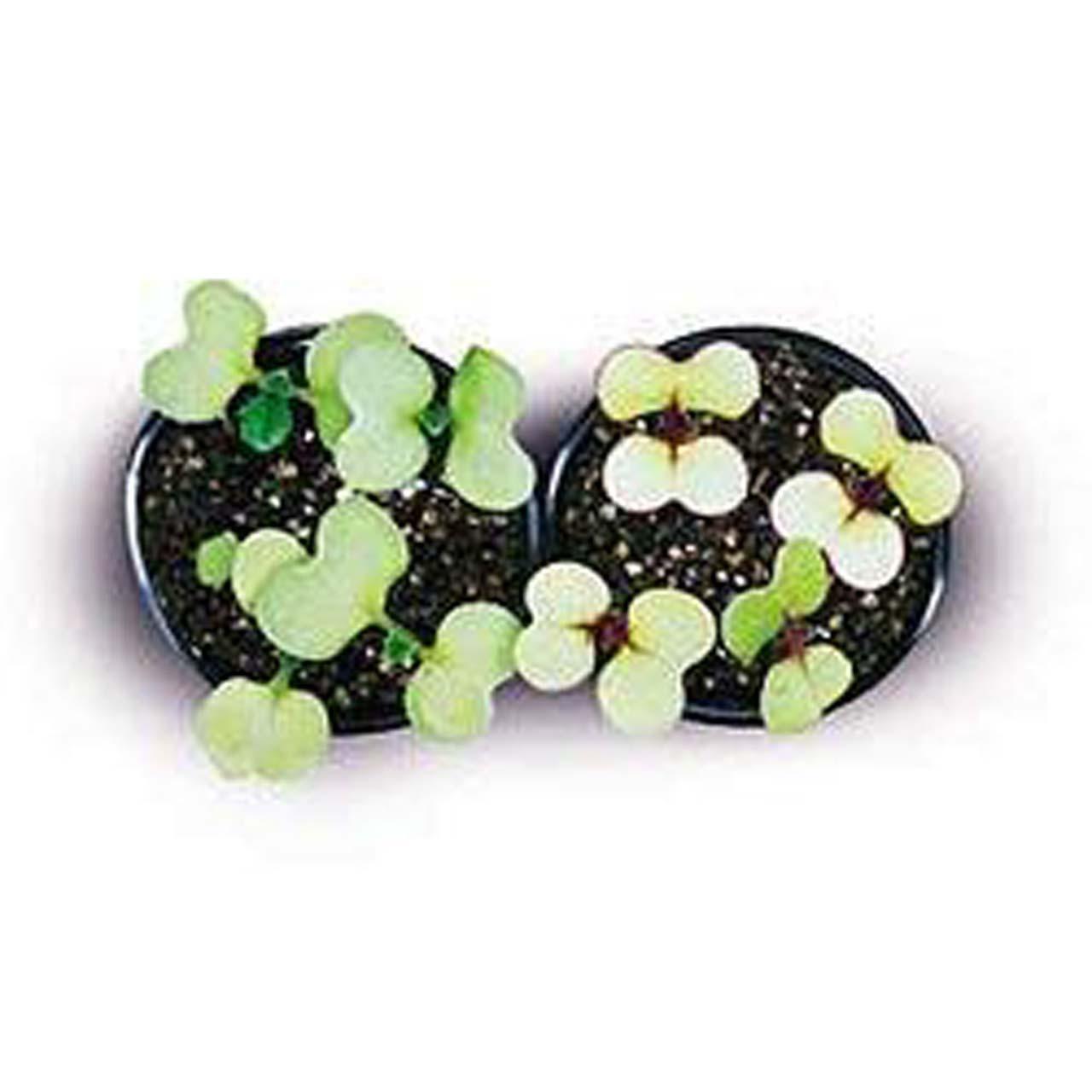 Brassica rapa seeds, F1 non-purple stem, yellow-green leaf