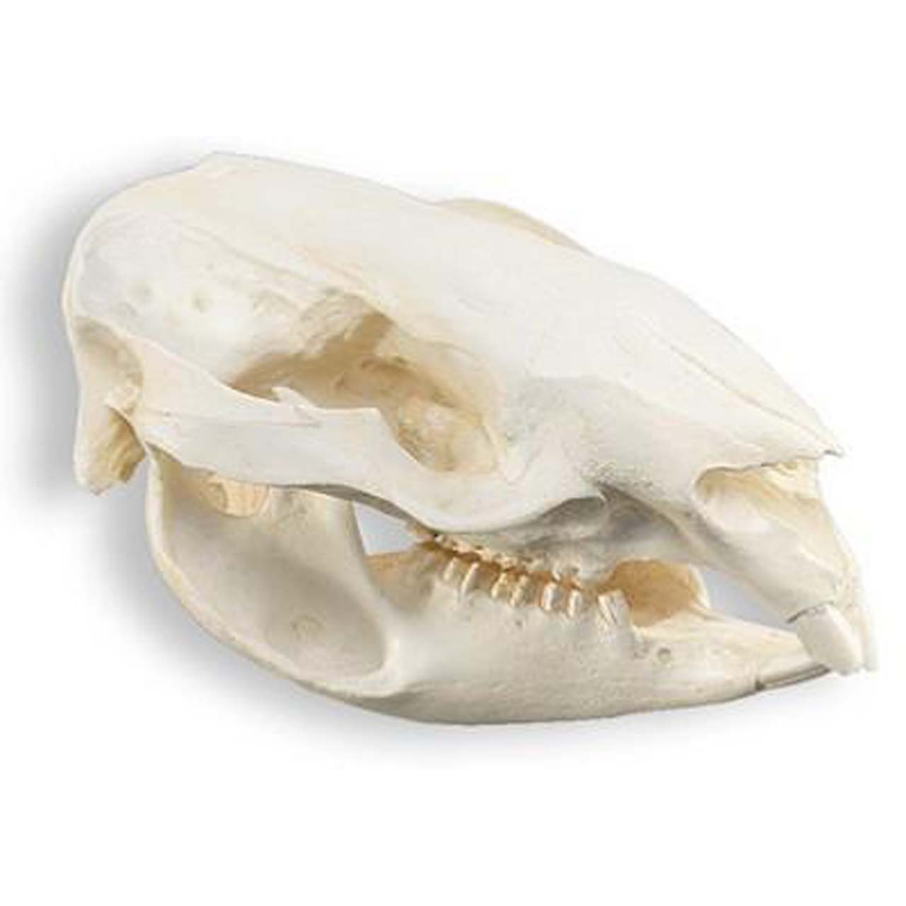 Wombat skull, Teaching quality