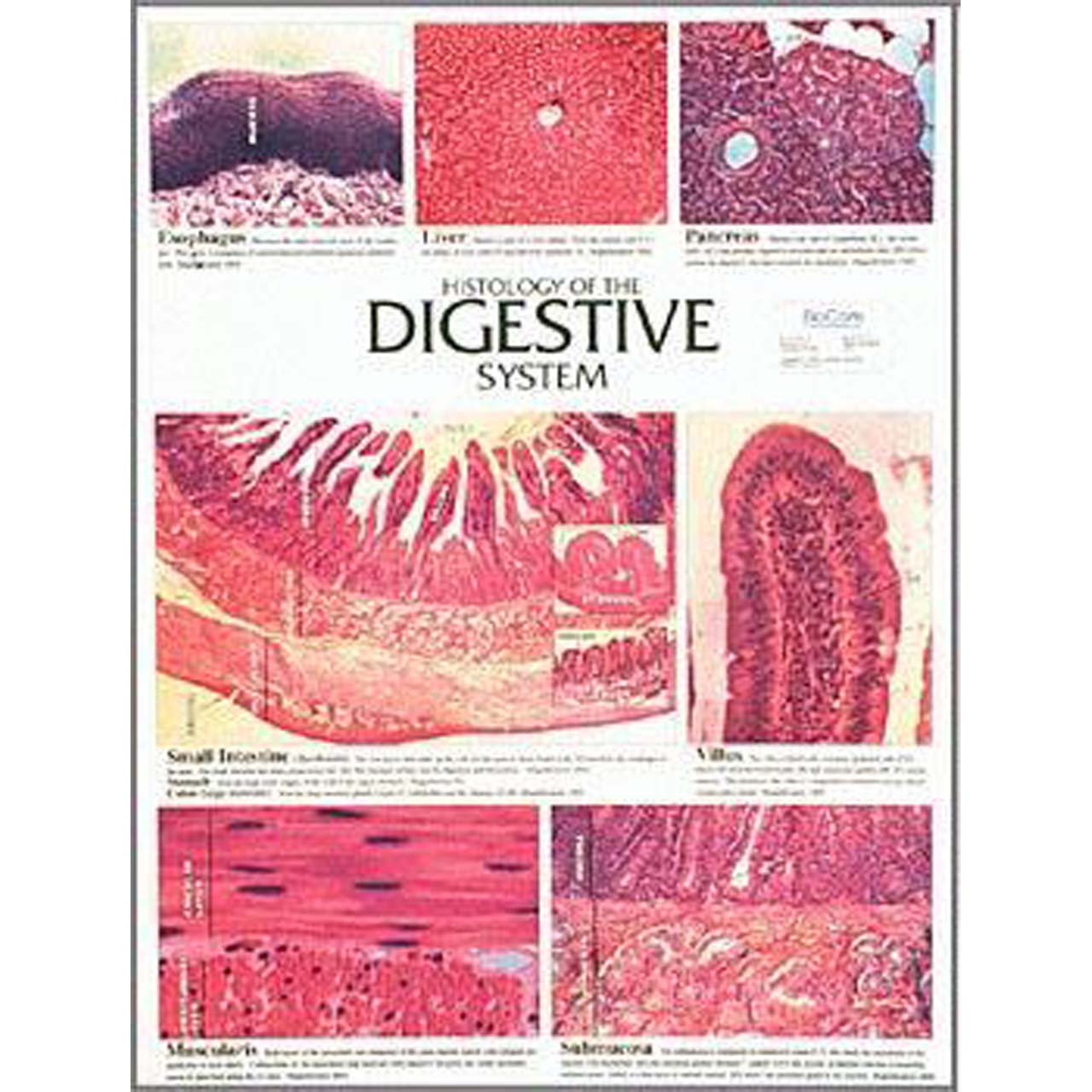 WC17 - Histology of the digestive system, Chart