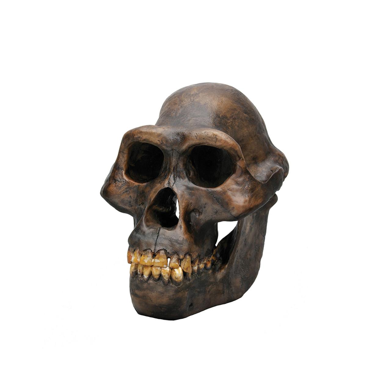 BH001 - Australopithecus afarensis