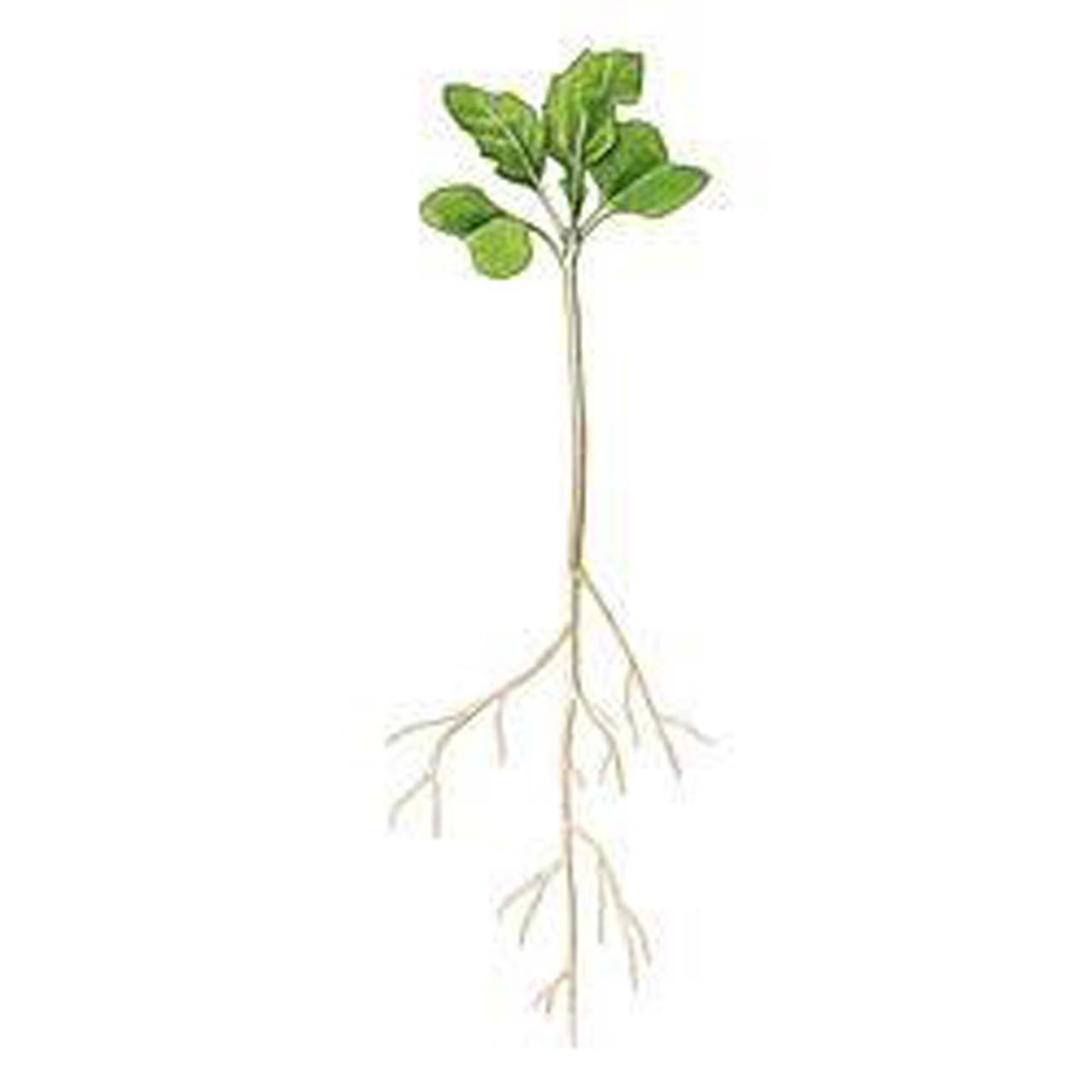 S13.1 - Brassica rapa seeds, standard