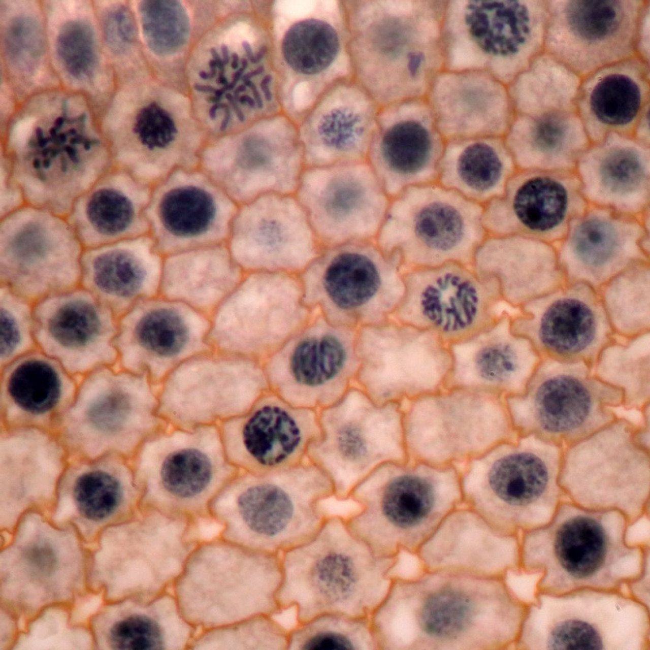 PMS27.12C - Onion (Allium cepa), root tip for plant mitosis, TS, haematoxylin and orange g stain
