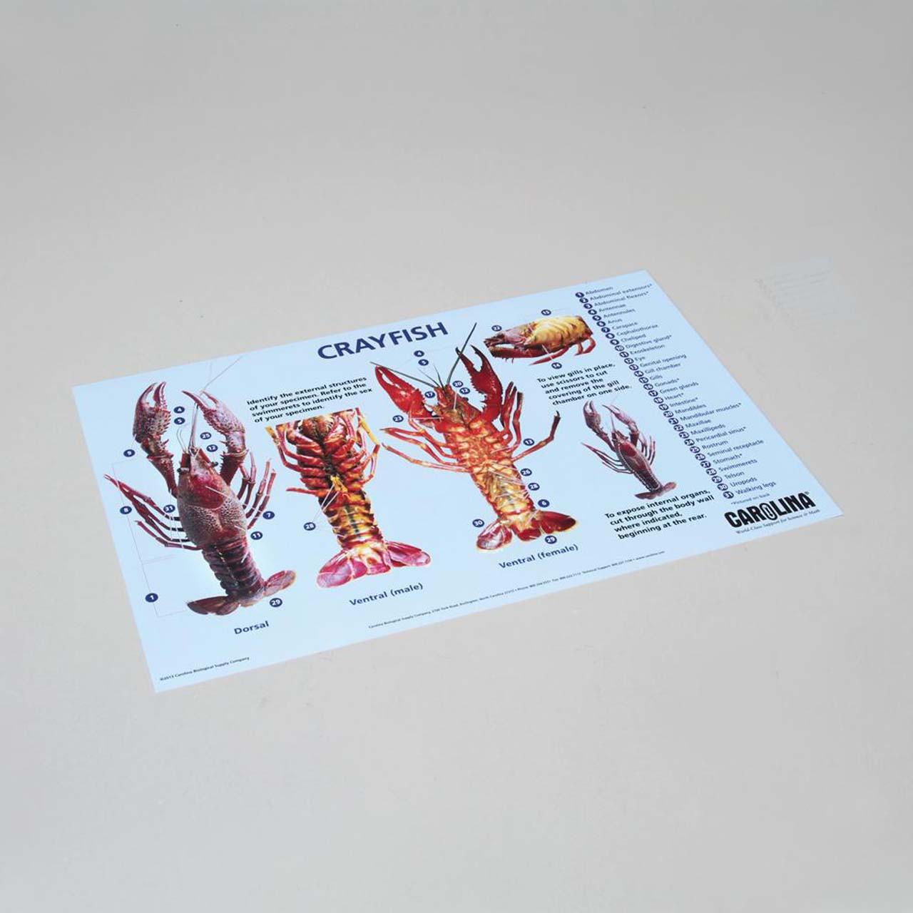 Crayfish dissection mat 28cm x 43cm