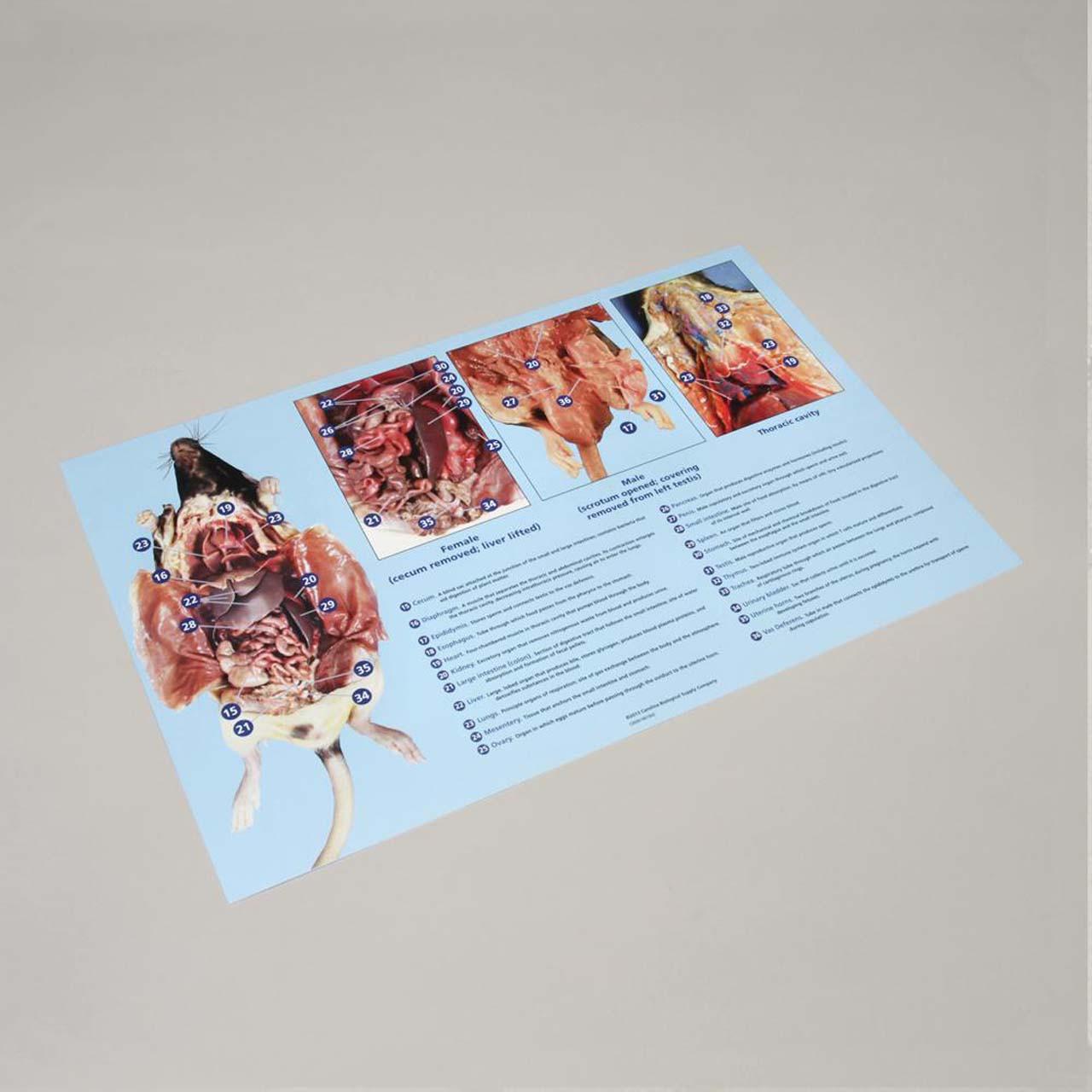 Rat dissection mat 28cm x 43cm