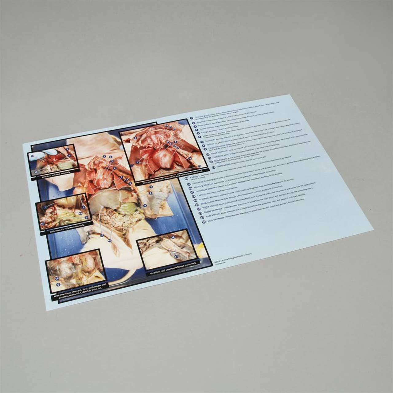 Pig dissection mat 28cm x 43cm