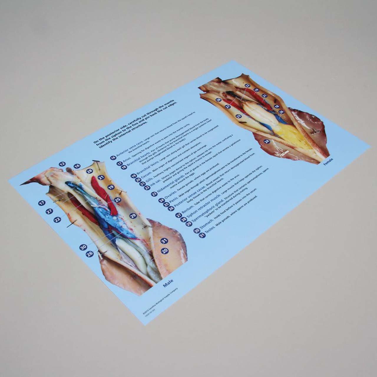 Squid dissection mat 28cm x 43cm