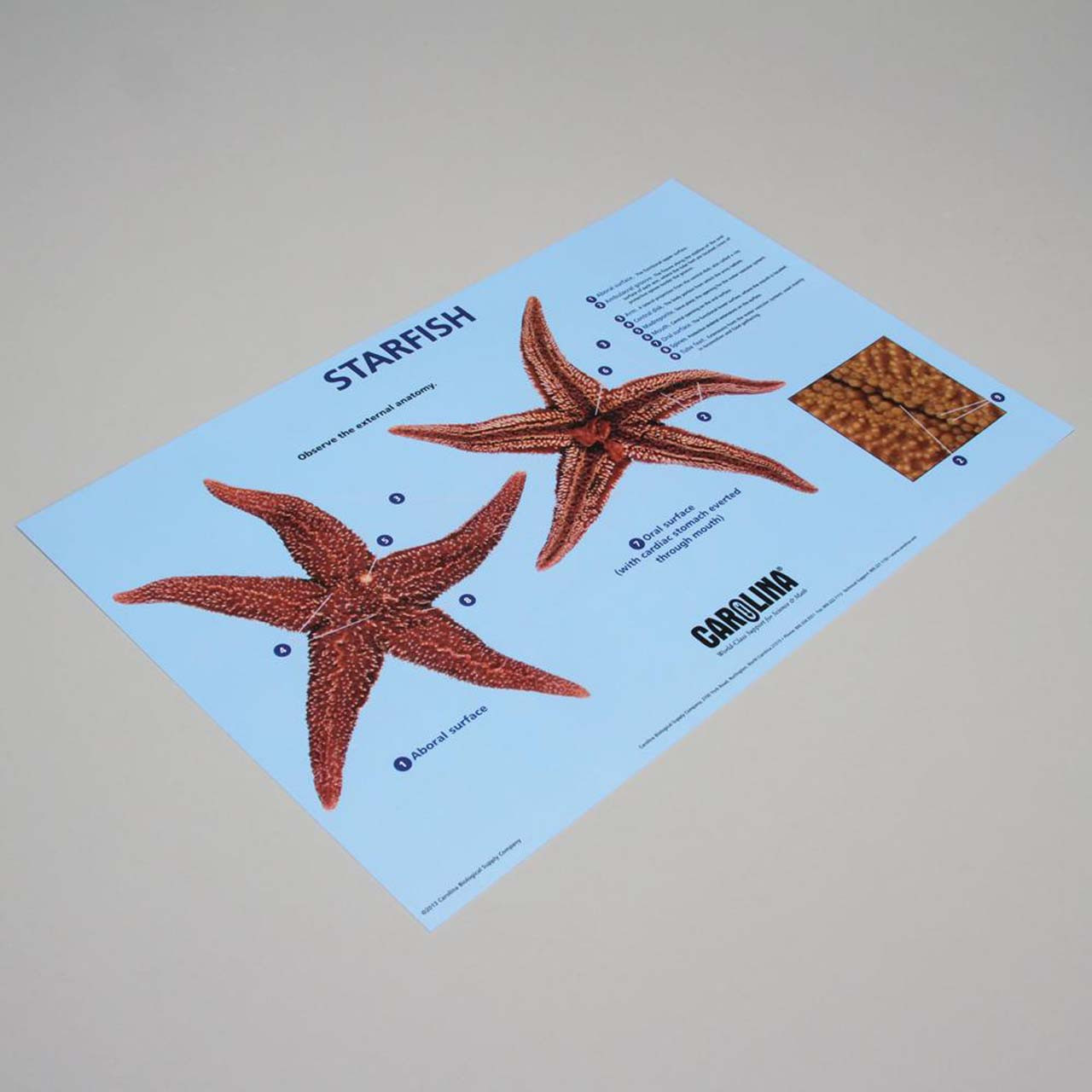 Starfish dissection mat 28cm x 43cm