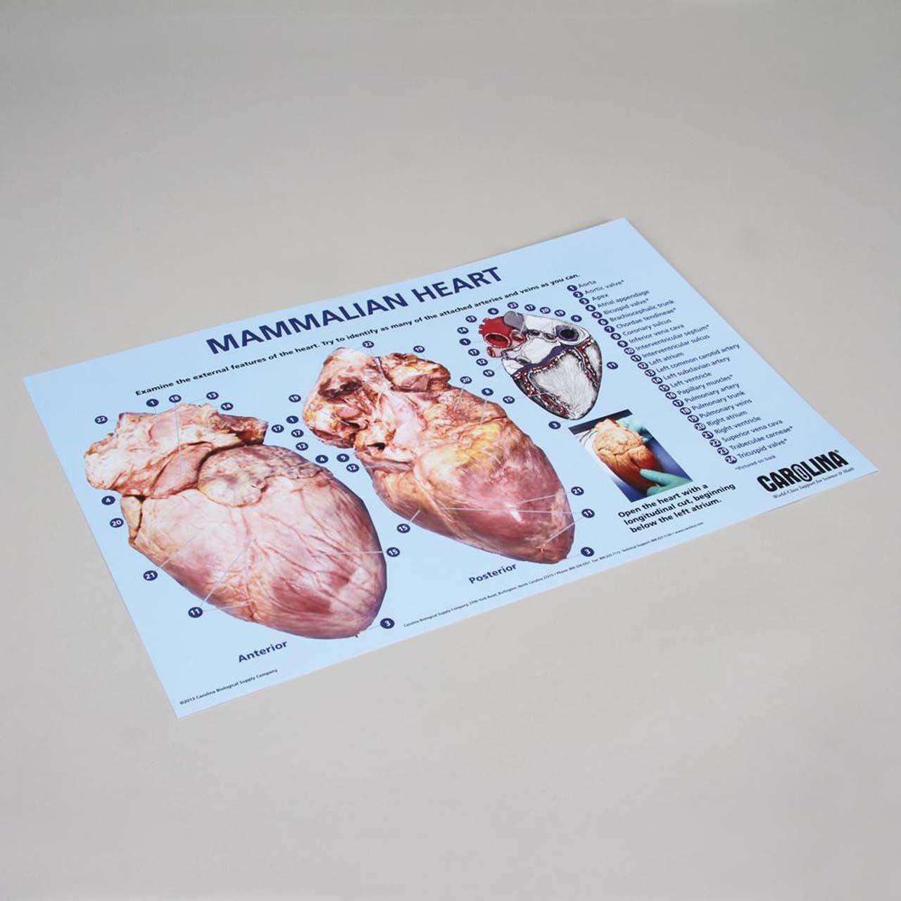 Mammalian heart dissection mat 28cm x 43cm