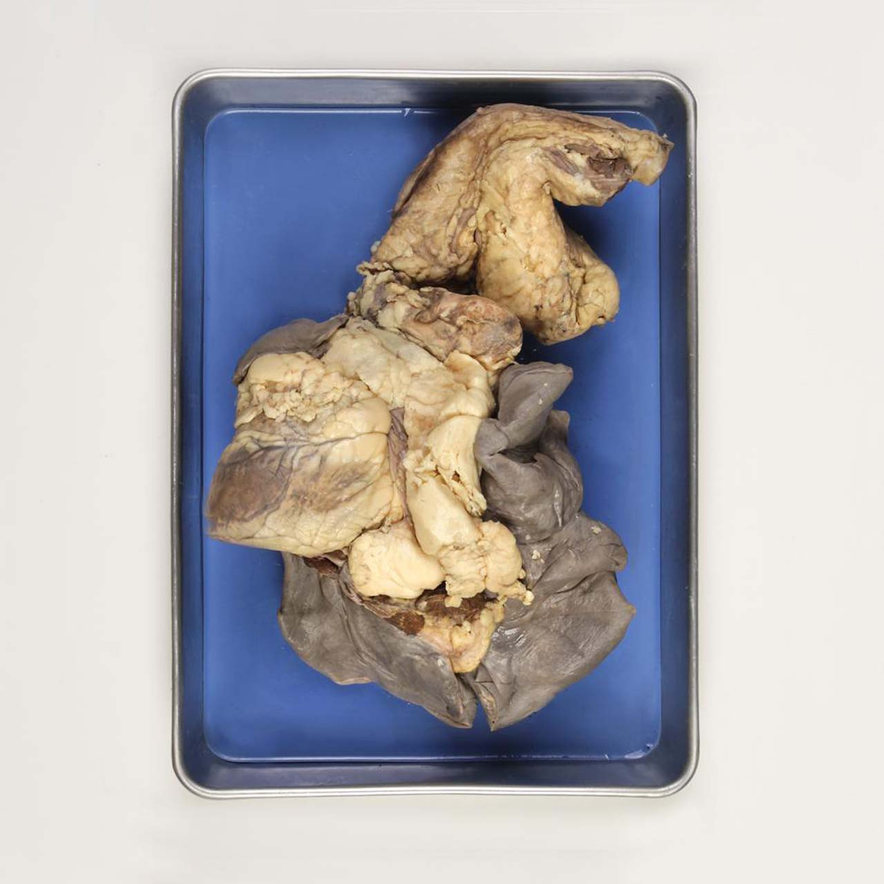 PM1.936 - Sheep pluck, preserved, heart with aorta and lungs with trachea, Perfect Solution Sales restricted to Australia