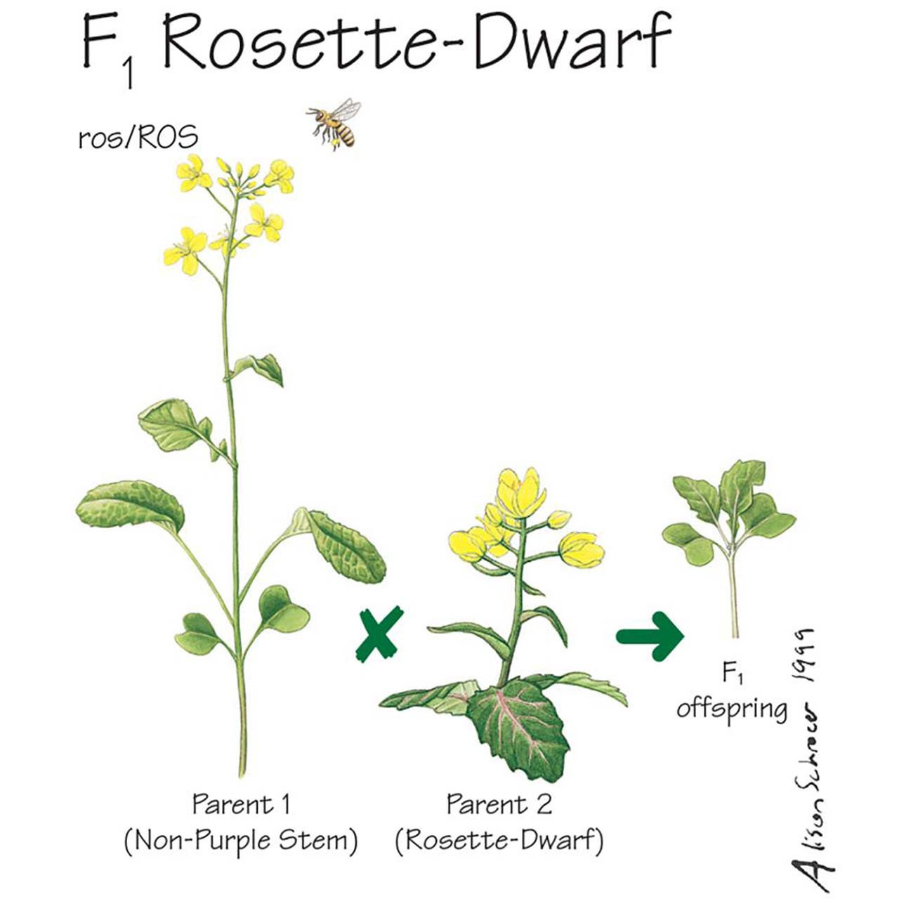 S13.16 - Brassica rapa seeds , F1, Rosette-dwarf, non-purple stem