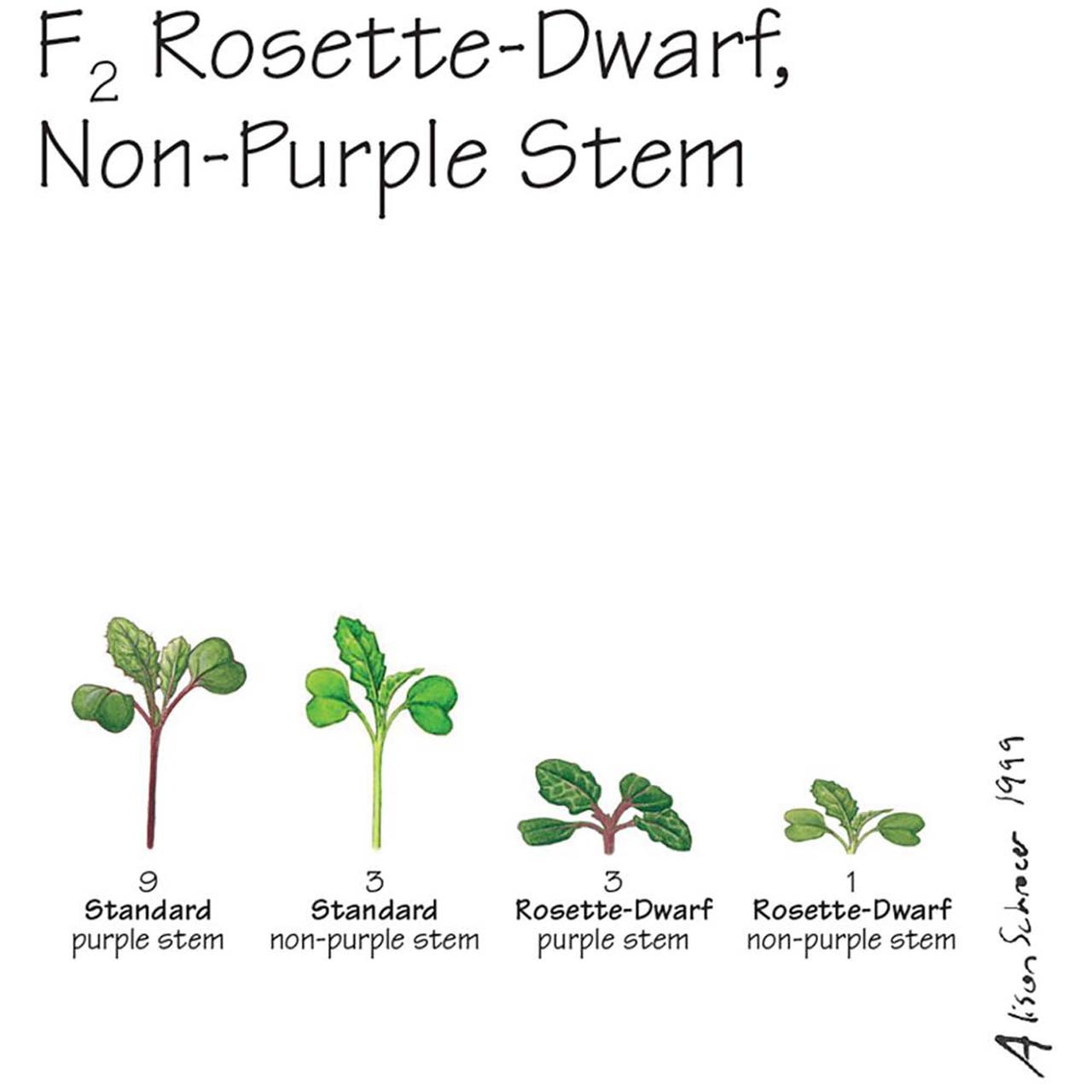S13.17 - Brassica rapa seeds, F2, rosette-dwarf, non-purple stem