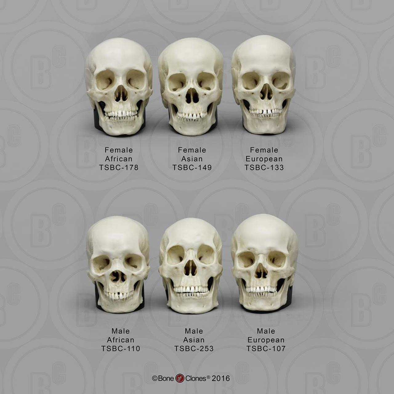 Ancestry half scale set of 6 human skulls, male and female of Asian, European and African American, with individual bases