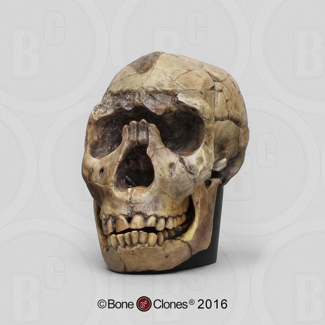 Hominin evolution half scale set of 4 skulls with individual bases. Ardipithecus ramidus, Australopithecus afarensis, Homo ergaster and Homo neandertalensis.