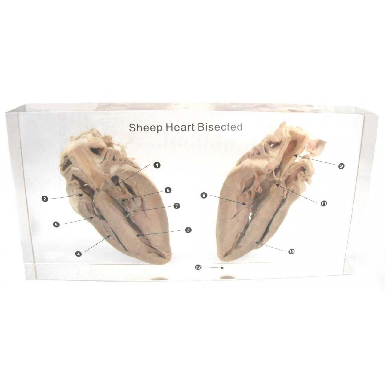 Sheep Heart Dissection Embedded Southern Biological