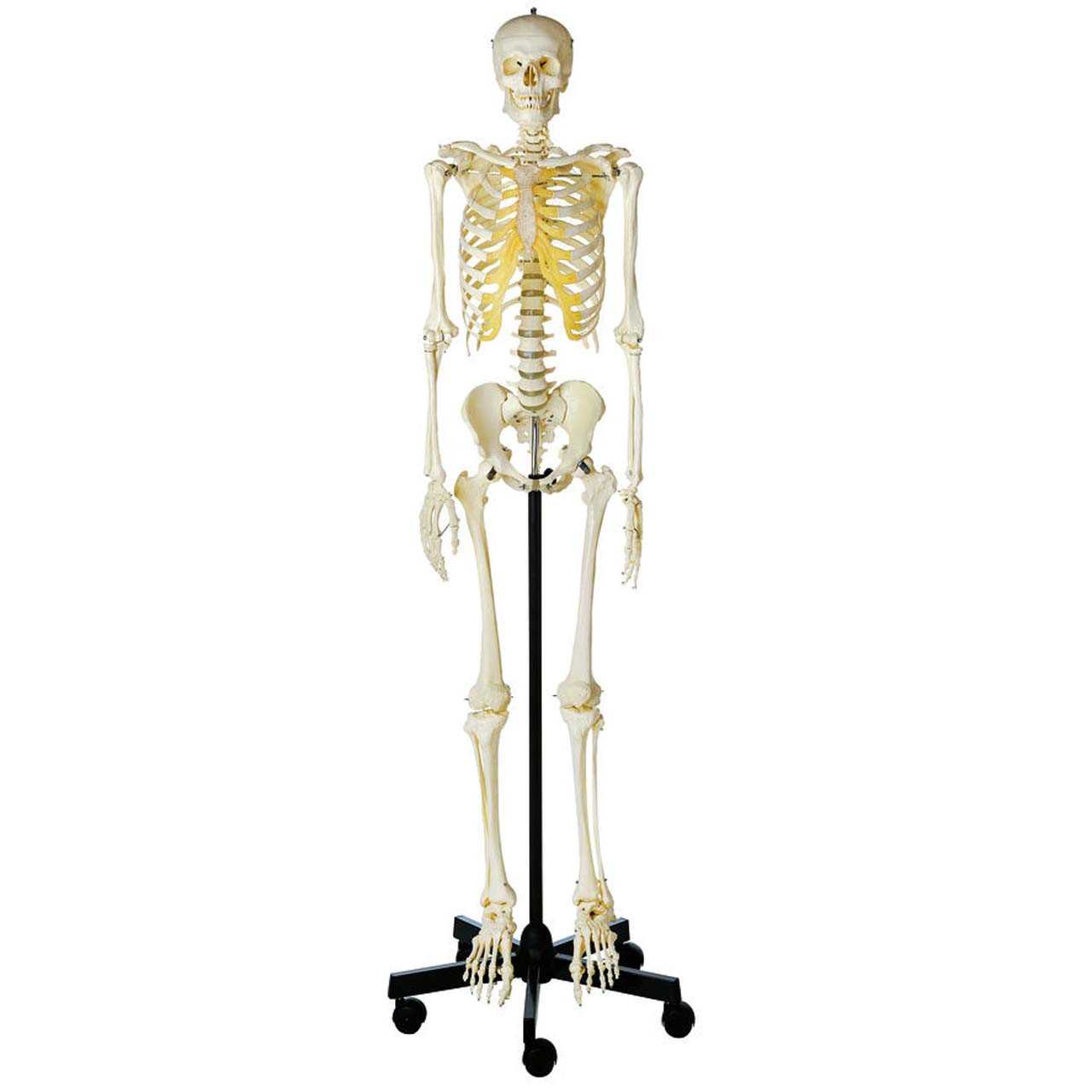 QS10/1 - Artificial Human Skeleton, male