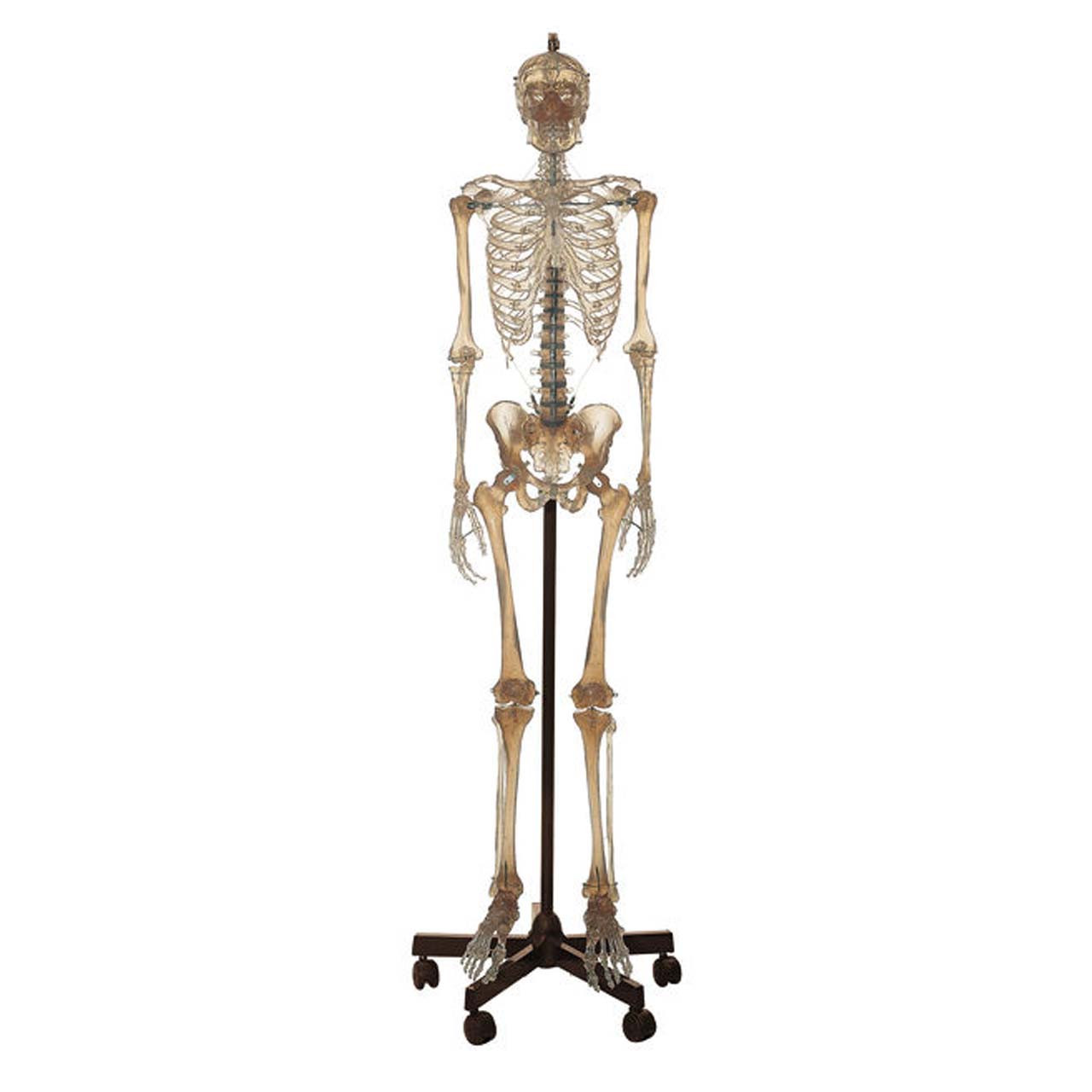 Artificial Human Skeleton, male, transparent
