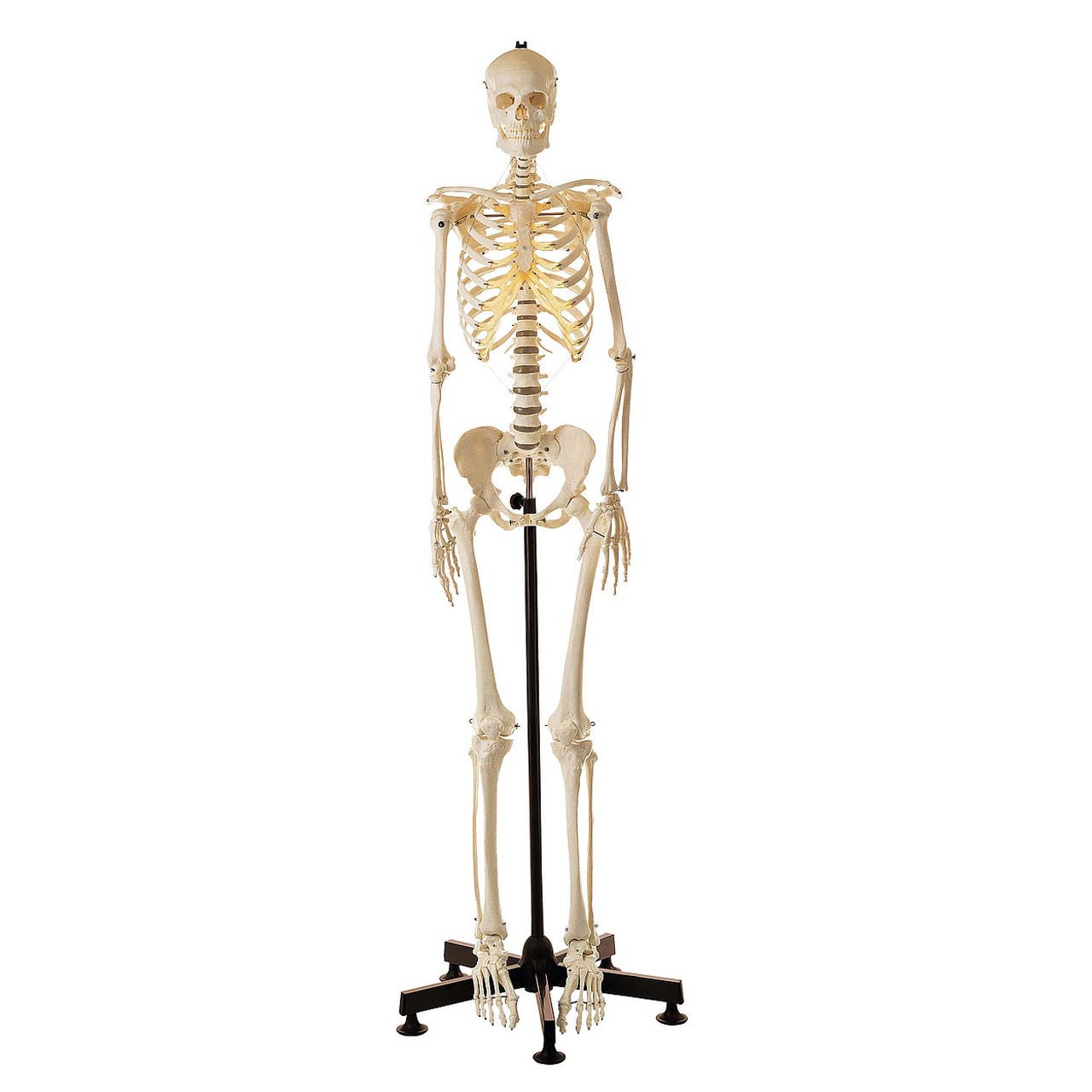Artificial Human Skeleton, female