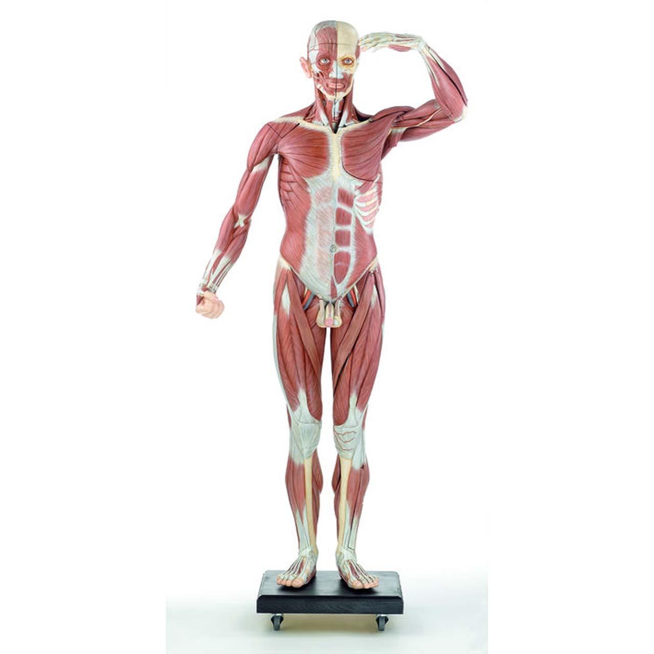 A2/07 - Male Muscle Figure