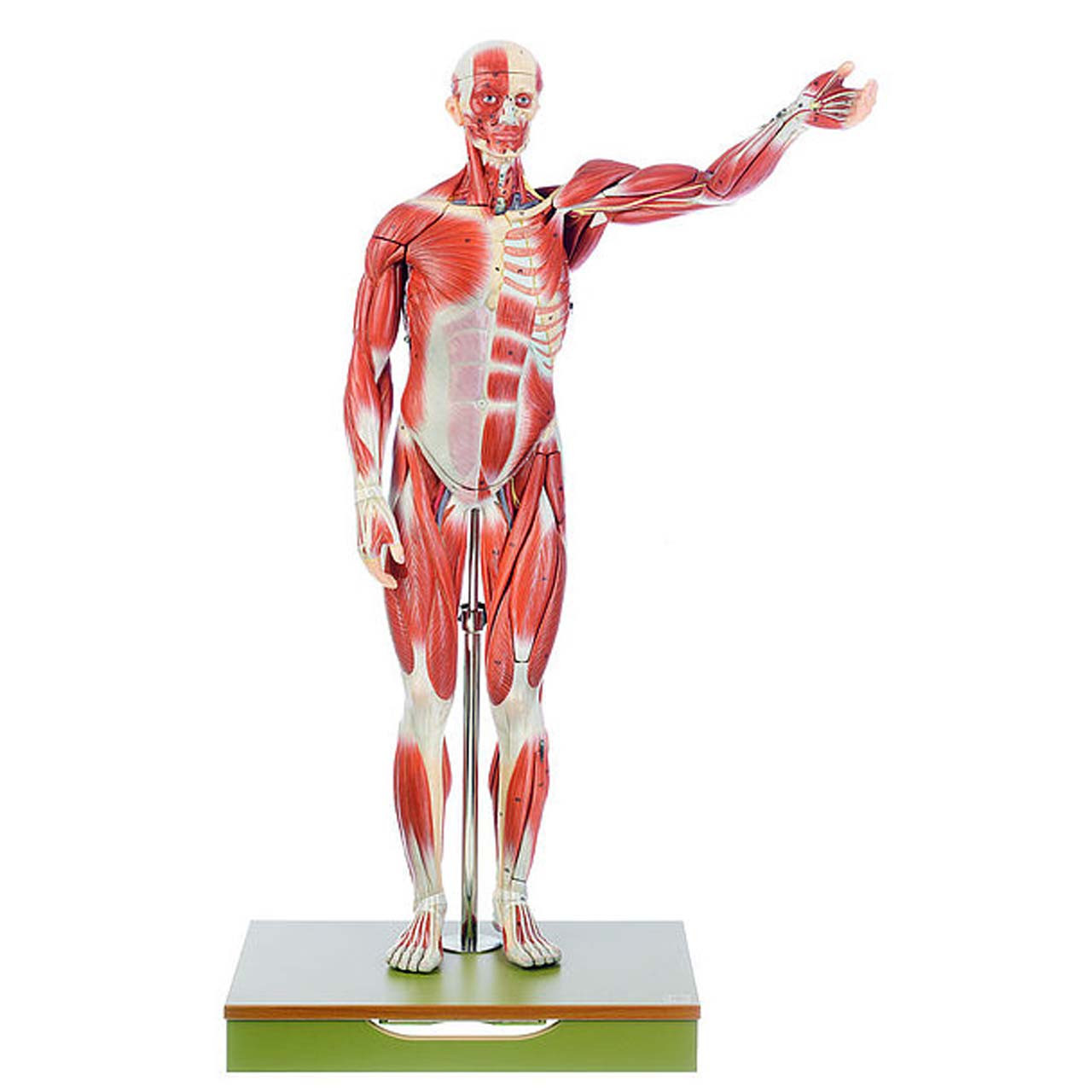 AS1 - Male Muscle Figure