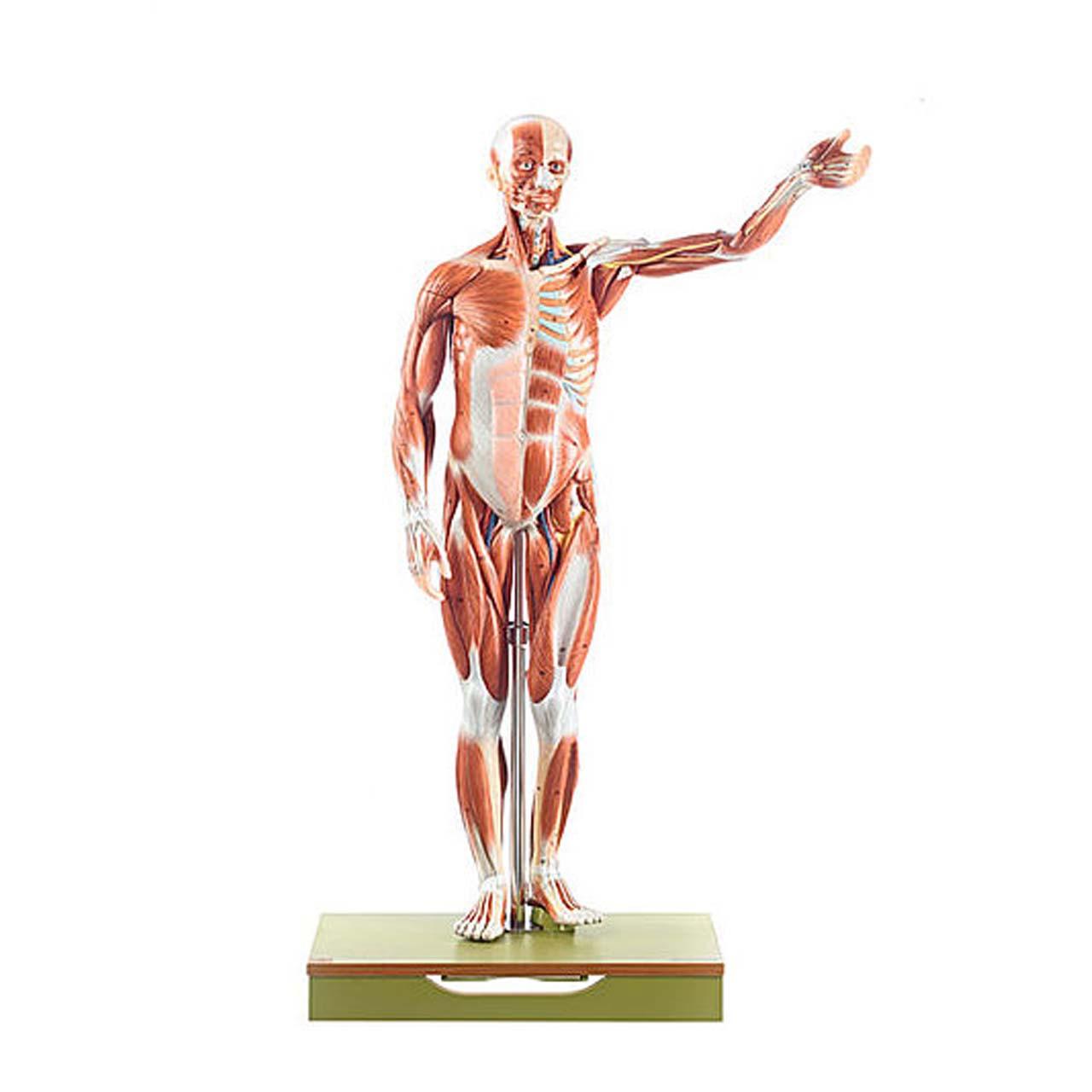 AS1/1 - Male Muscle Figure