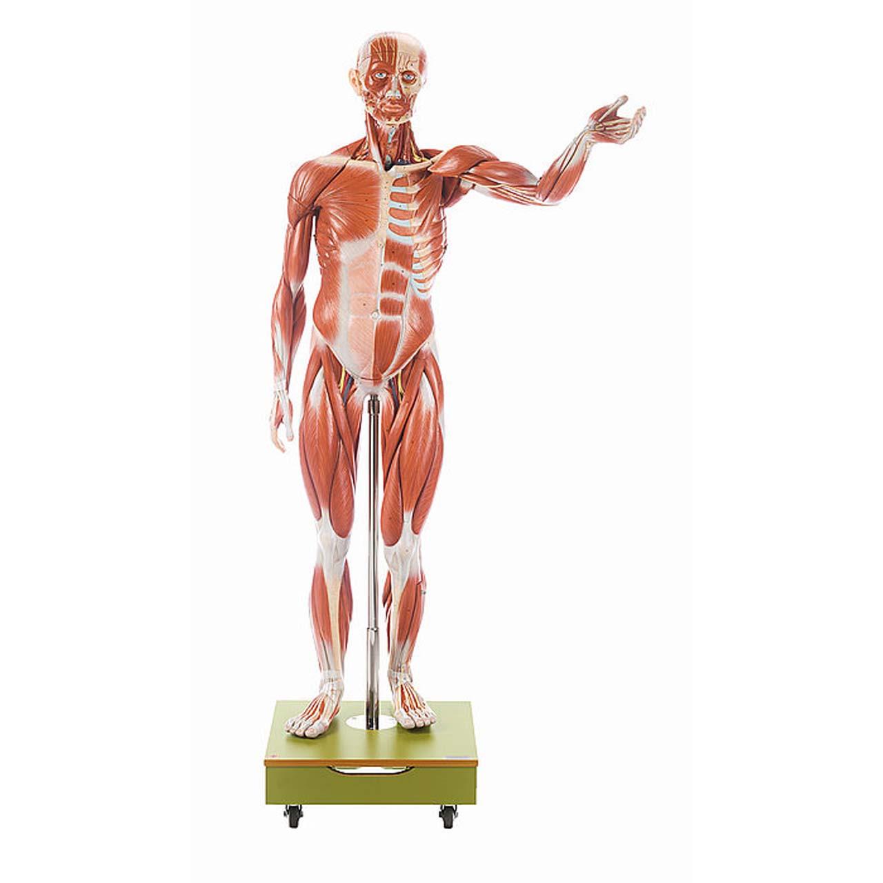 AS2/2 - Male Muscle Figure