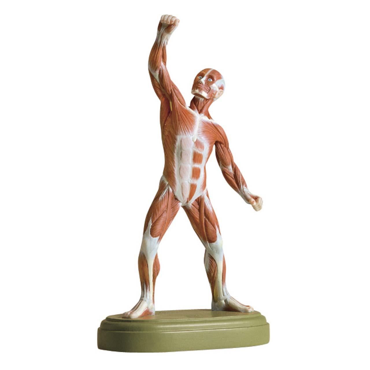 AS3/1 - Male Muscle Figure