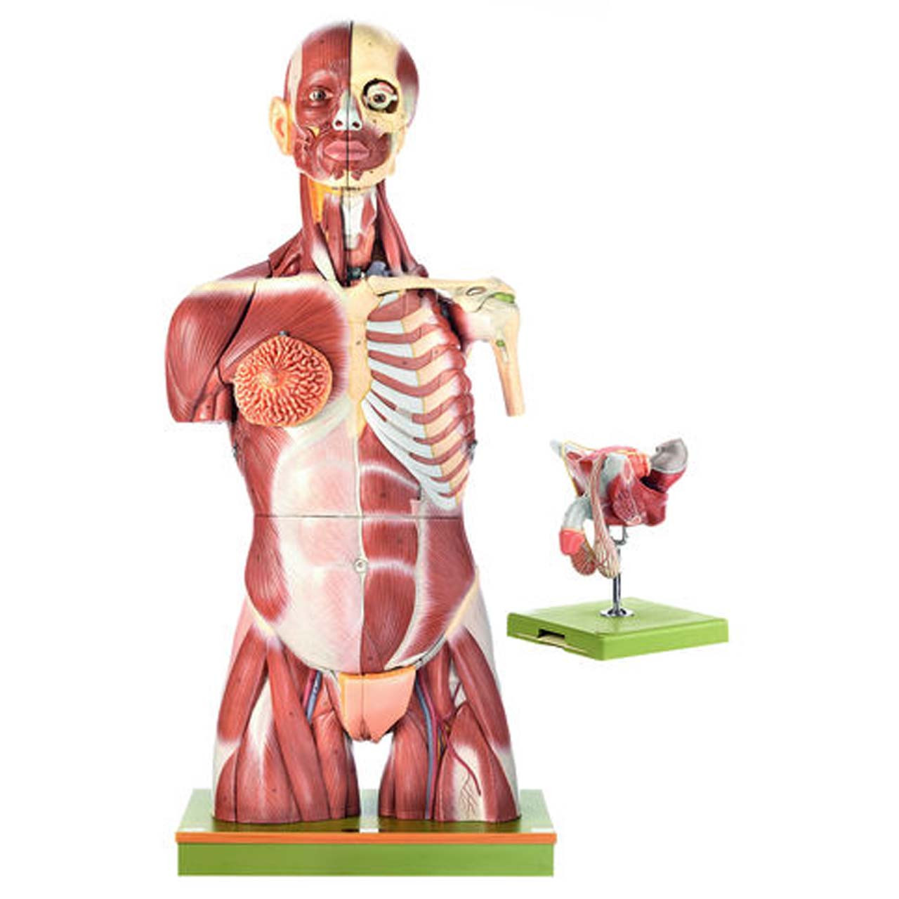 Muscular Torso with Interchangeable Male and Female Genitalia