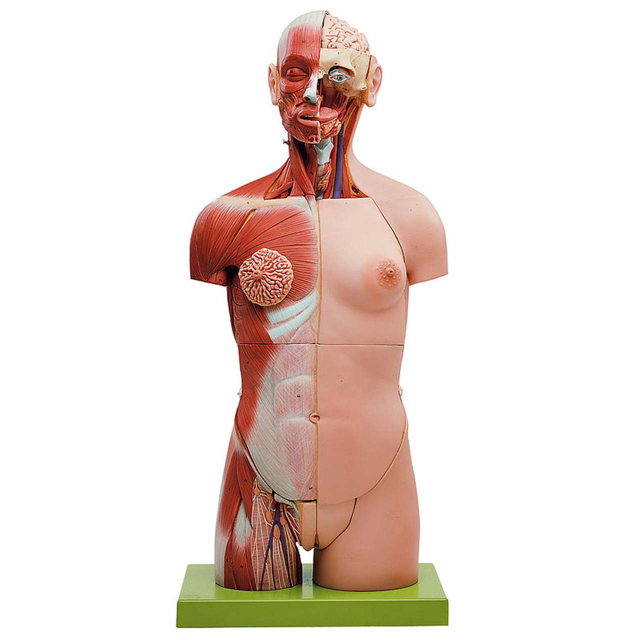 AS7 - Muscular Torso with Head and Open Back