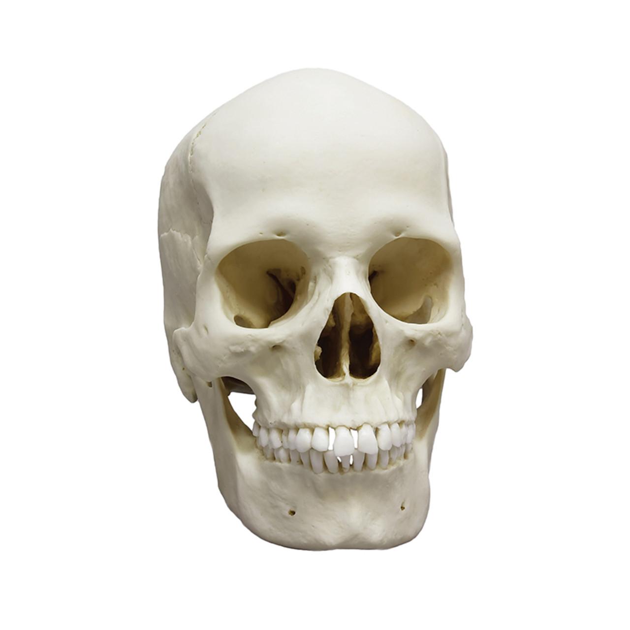 BC133 - Human female European skull