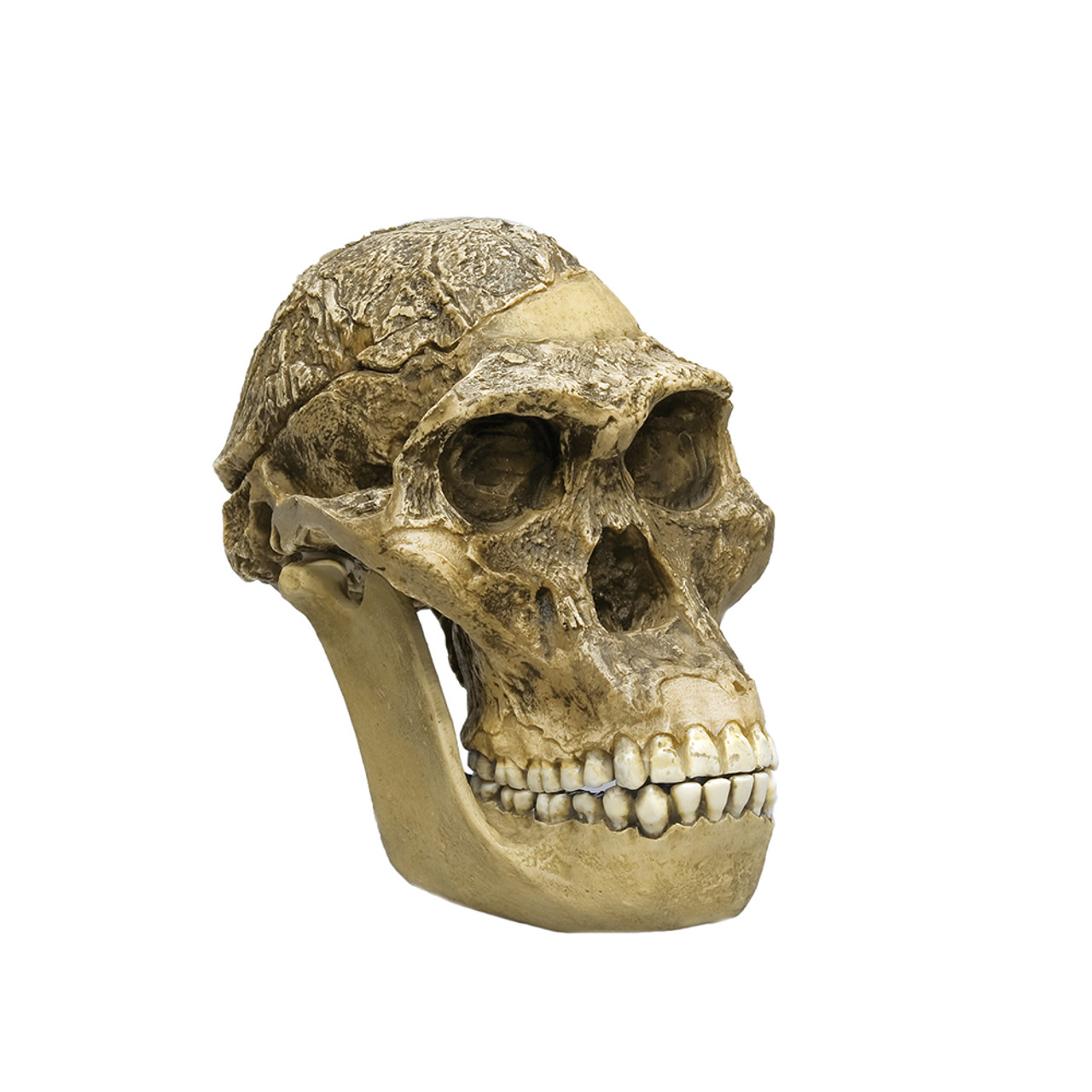 Australopithecus africanus, STS 5, 'Mrs Ples', with jaw
