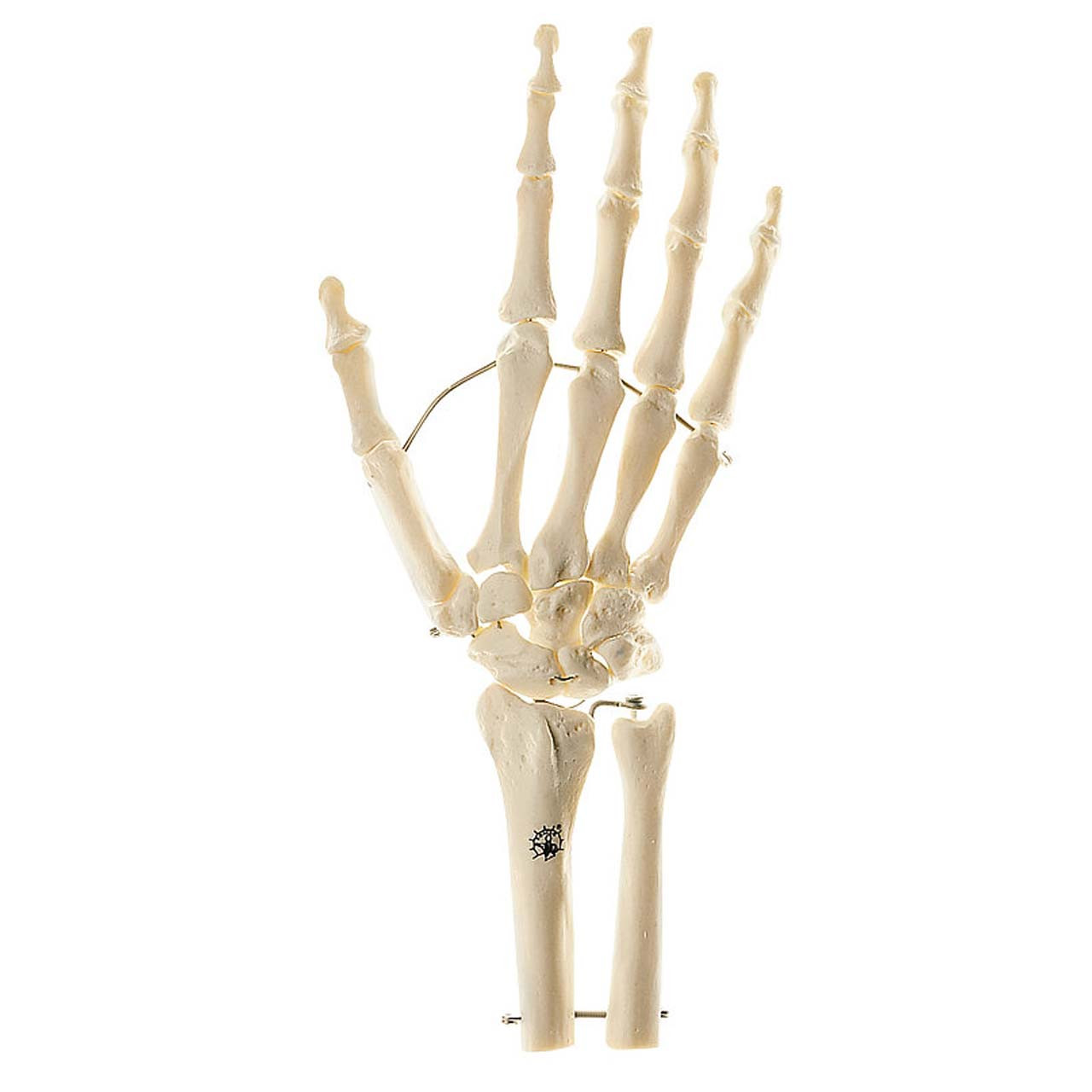 QS31/1 - Skeleton of Hand with Base of Forearm (Mounted on wire)