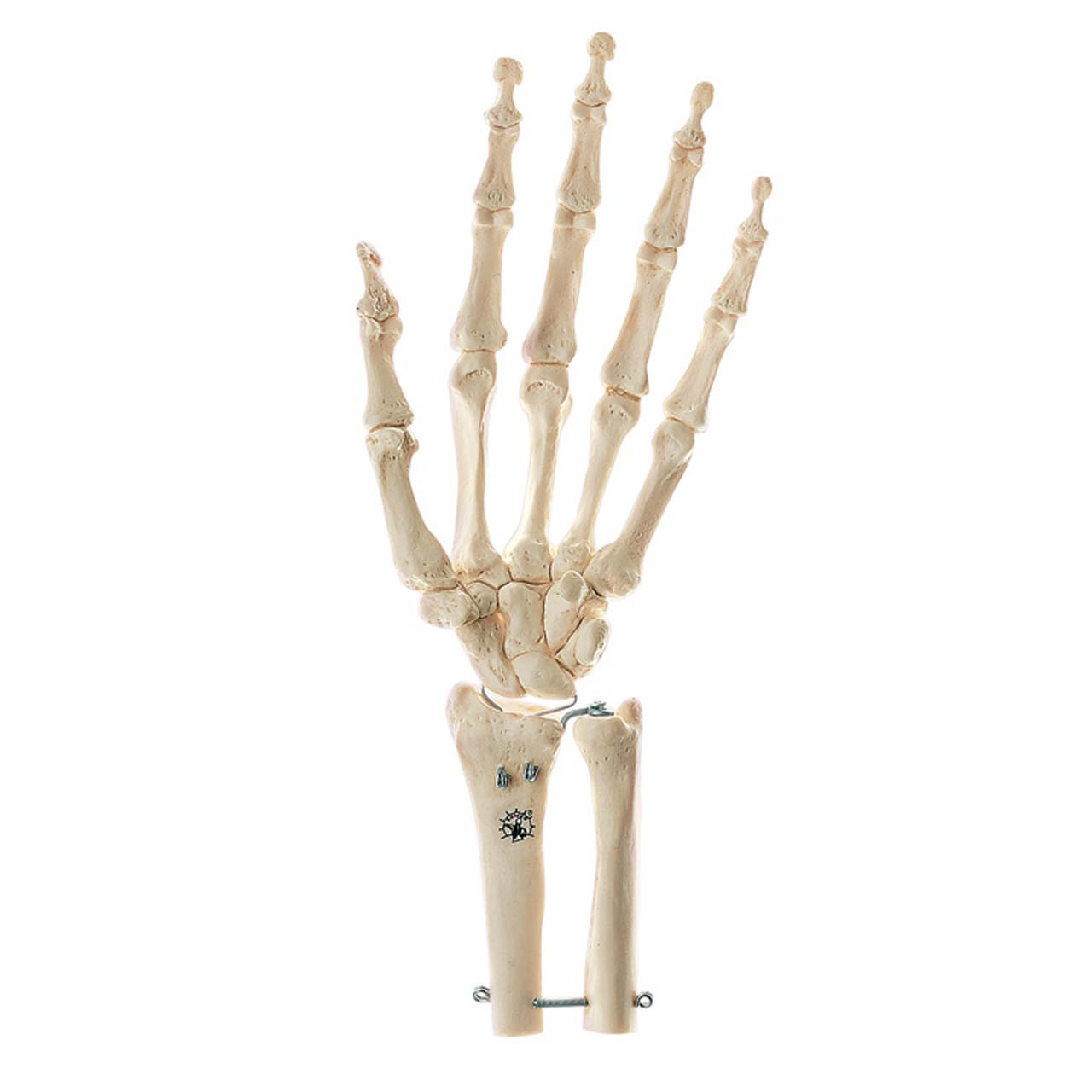 Skeleton of Hand with Base of Forearm