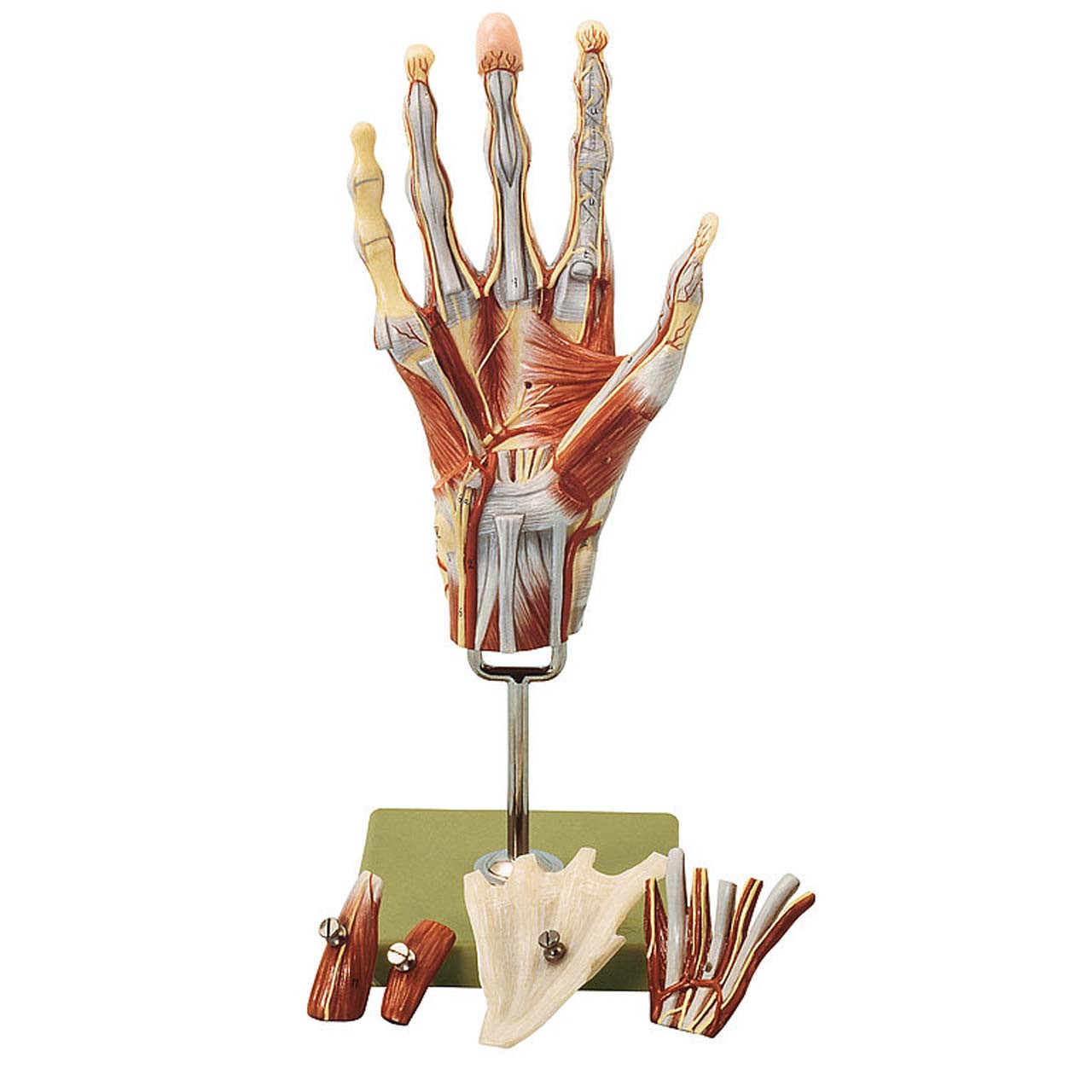 Muscles of the Hand with Base of Fore-Arm
