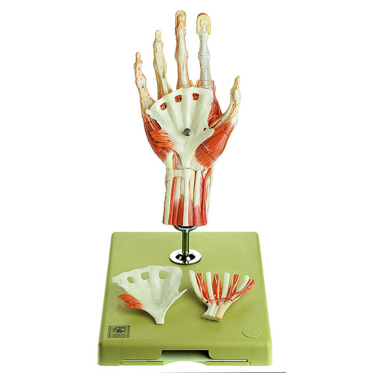 NS13/1 - Surgical Hand Model