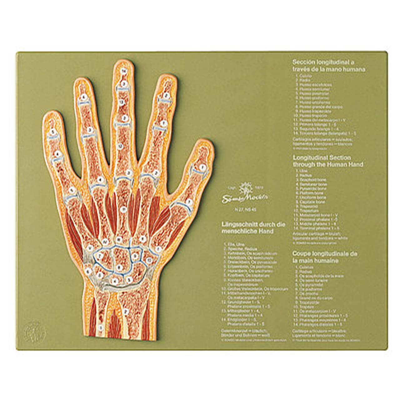 NS45 - Section through the Hand