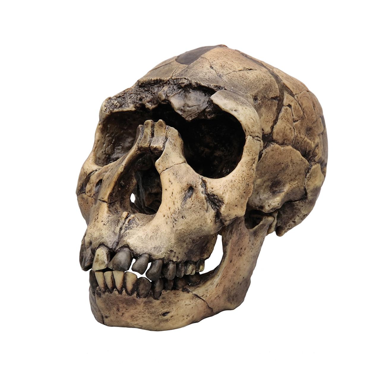 BH012 - Homo ergaster, KNM-WT 15000, 'Nariokotome Boy'