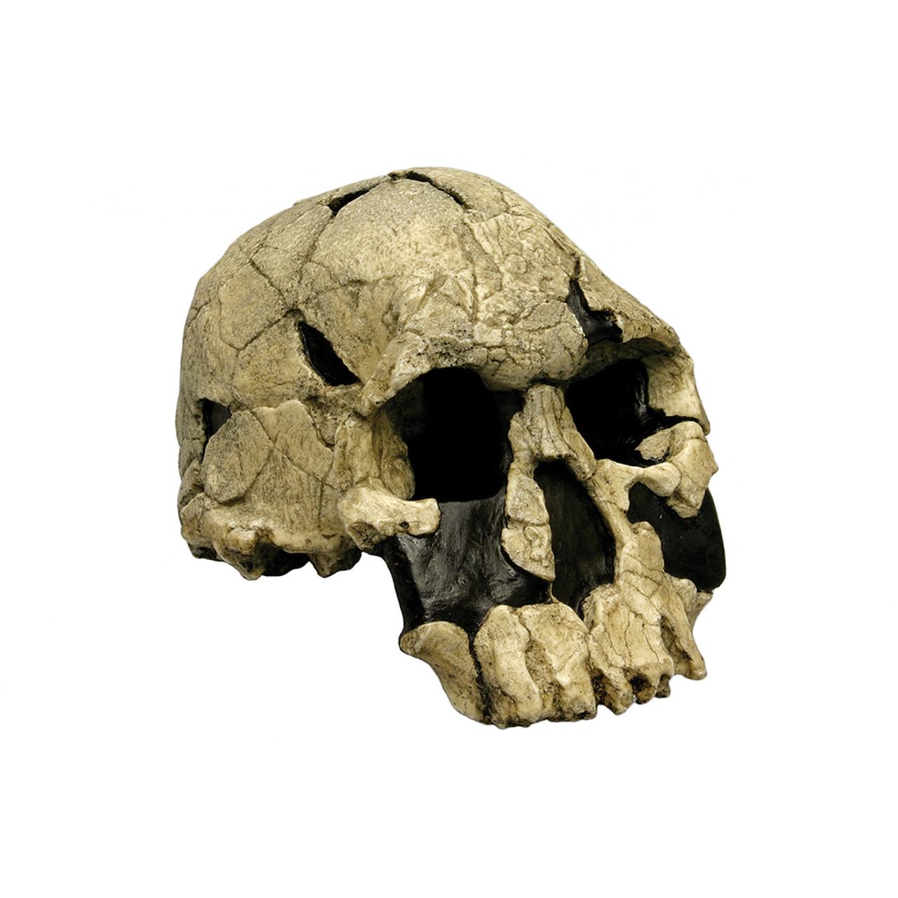 Homo rudolphensis, KNM-ER 147