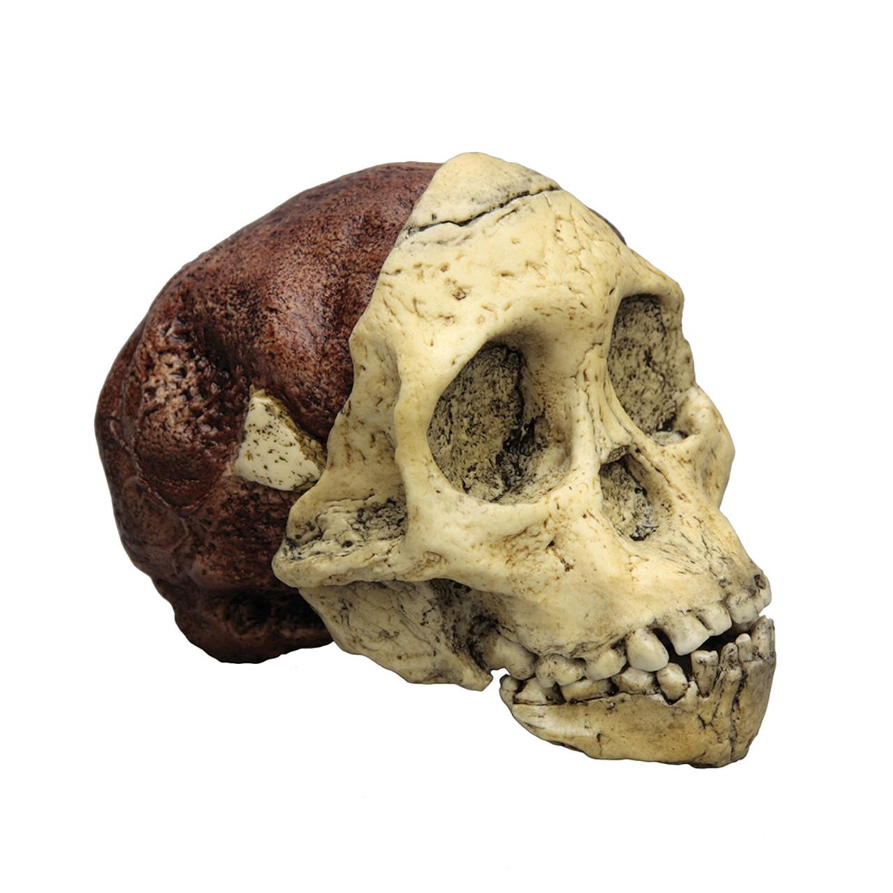 BH016 - Australopithecus africanus, 'Taung Child'