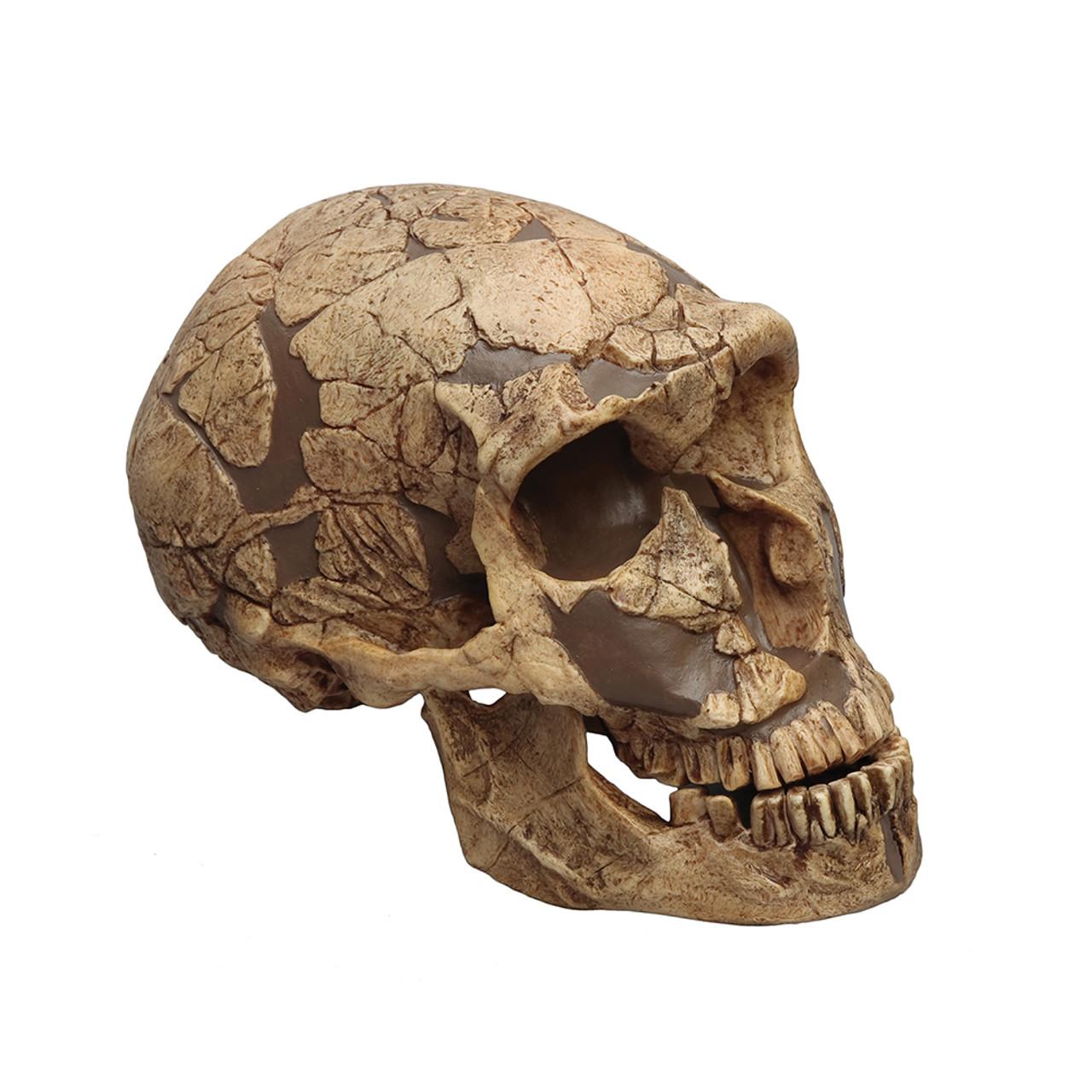 Homo neanderthalensis, La Ferrassie 1