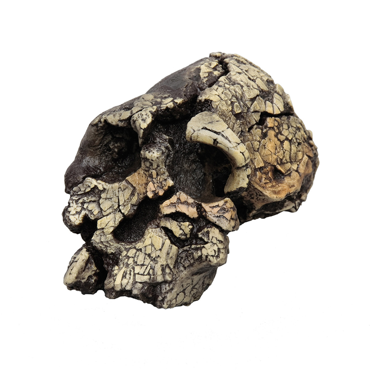 Kenyanthropus platyops, KNM-WT 40000