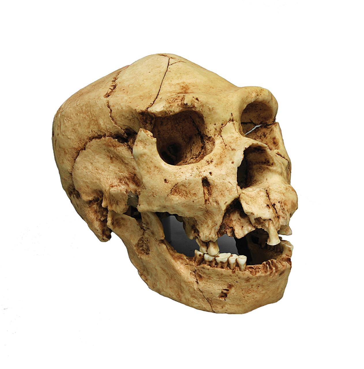 BH022 - Homo heidelbergensis, Atapuerca 5