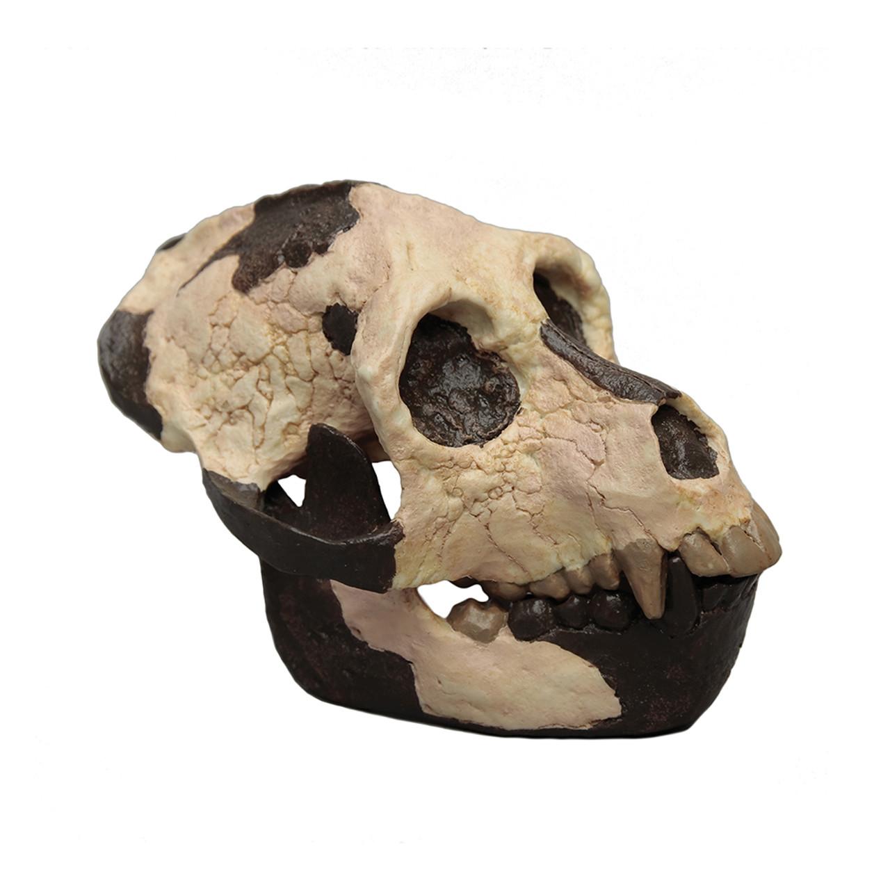 Aegyptopithecus zeuxis