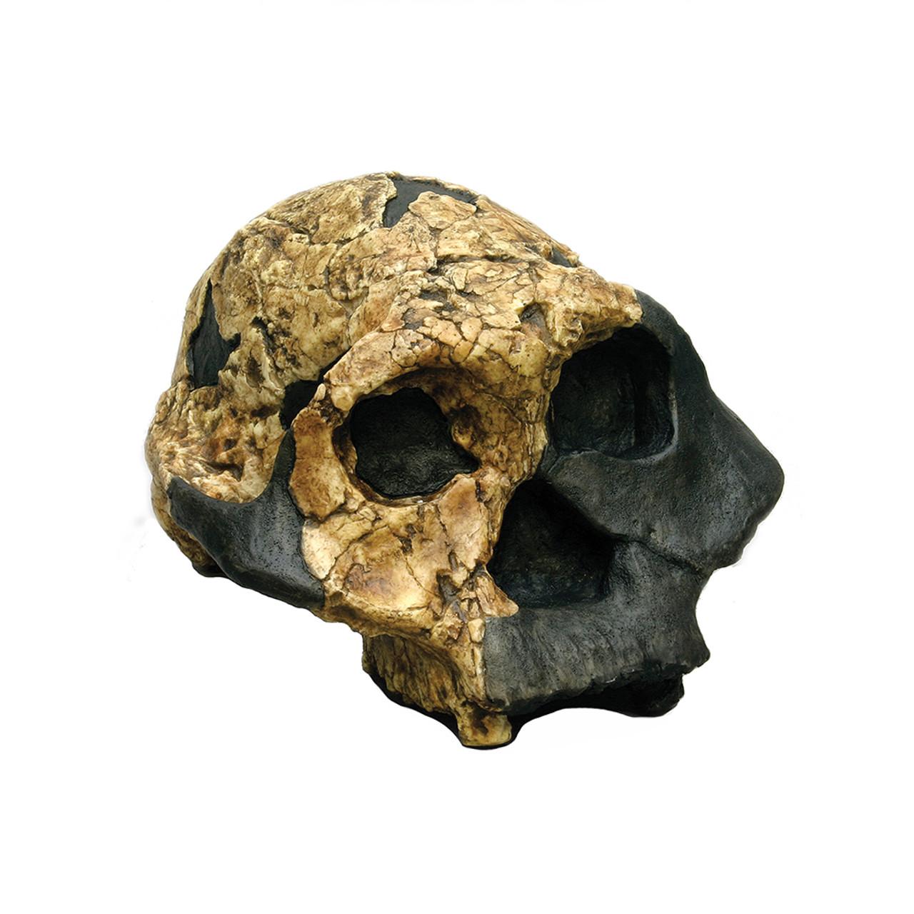 Australopithecus boisei, female, KNM-ER 732