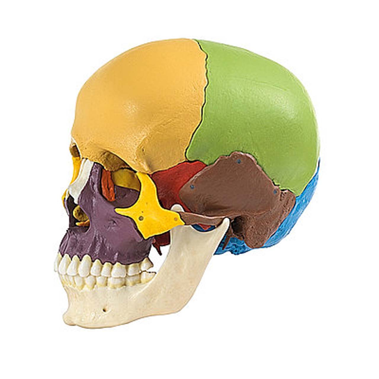 14-Part Coloured Model of the Human Skull