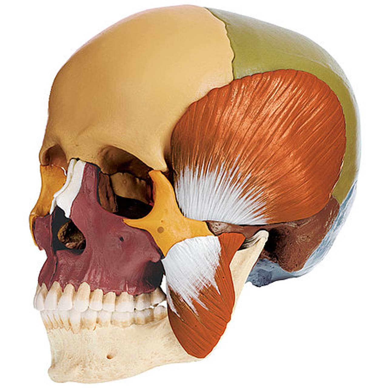 14-Part Coloured Model of the Skull with Muscles of Mastication