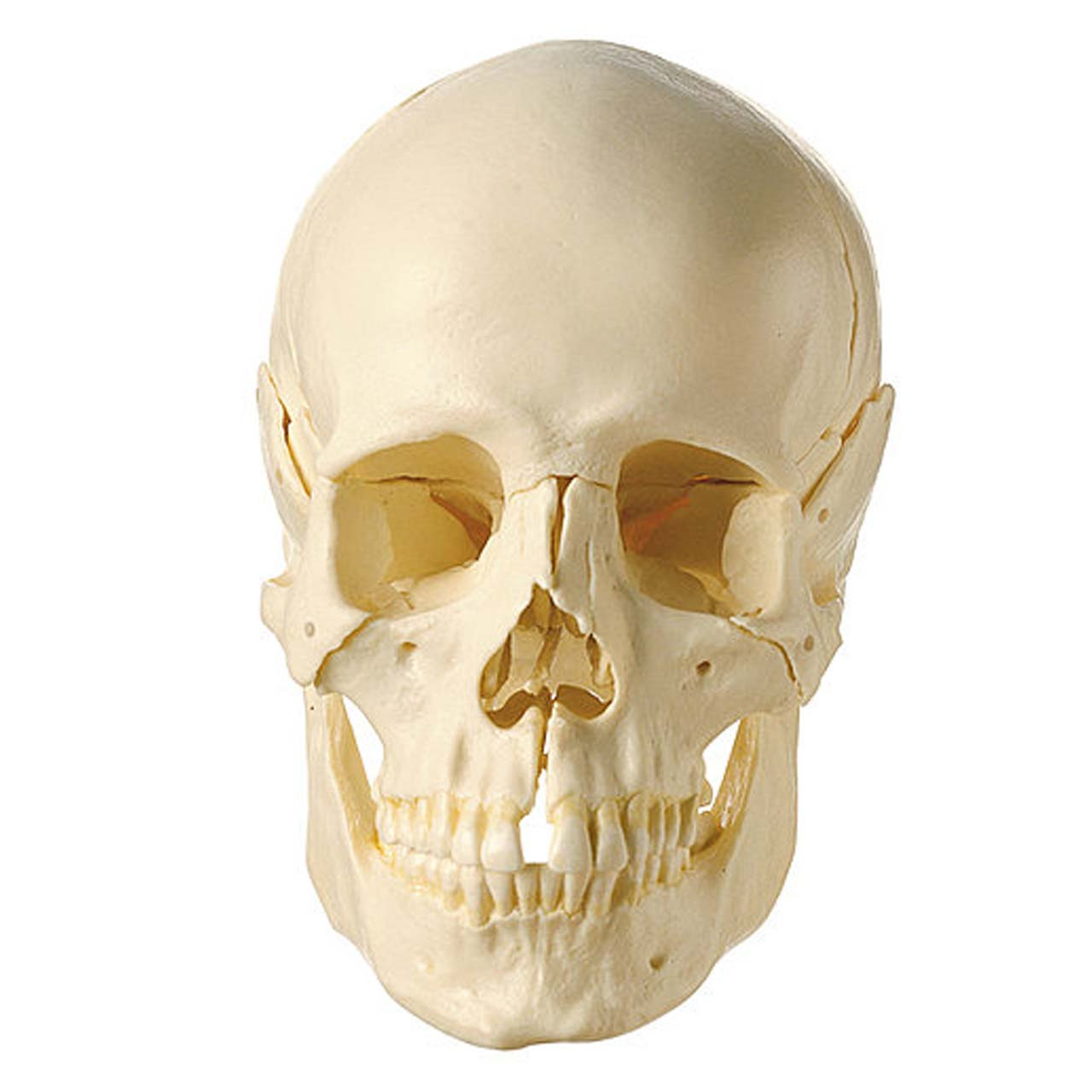 18-Part Model of the Skull